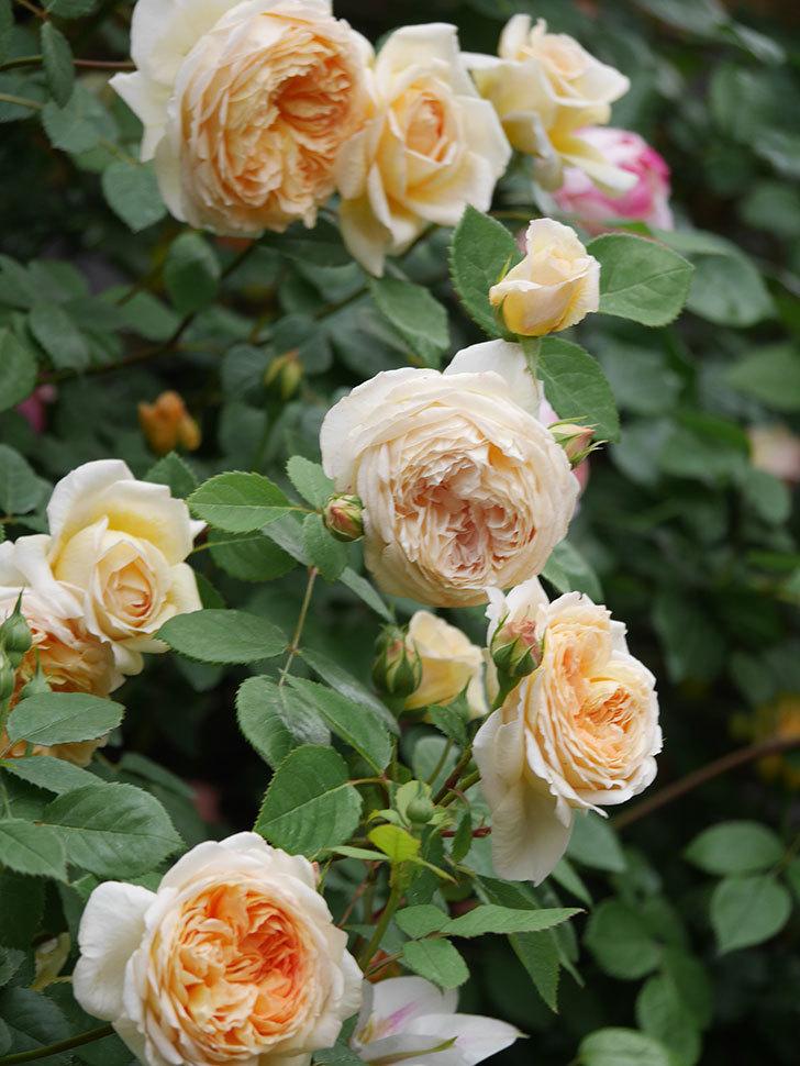 バスシーバ(Bathsheba)の花がたくさん咲いた。ツルバラ。2021年-112.jpg
