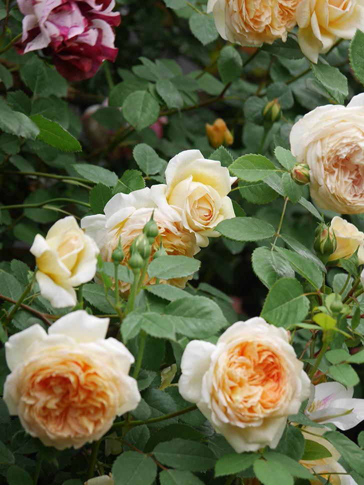 バスシーバ(Bathsheba)の花がたくさん咲いた。ツルバラ。2021年-113.jpg
