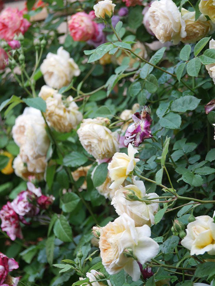 バスシーバ(Bathsheba)の花がたくさん咲いた。ツルバラ。2021年-115.jpg