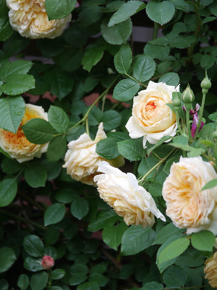 バスシーバ(Bathsheba)の花がたくさん咲いた。ツルバラ。2021年-117.jpg