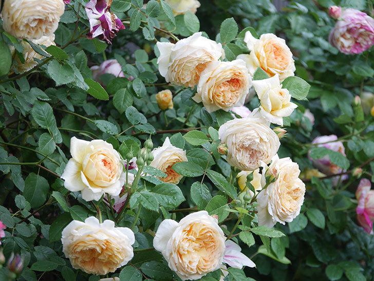 バスシーバ(Bathsheba)の花がたくさん咲いた。ツルバラ。2021年-119.jpg