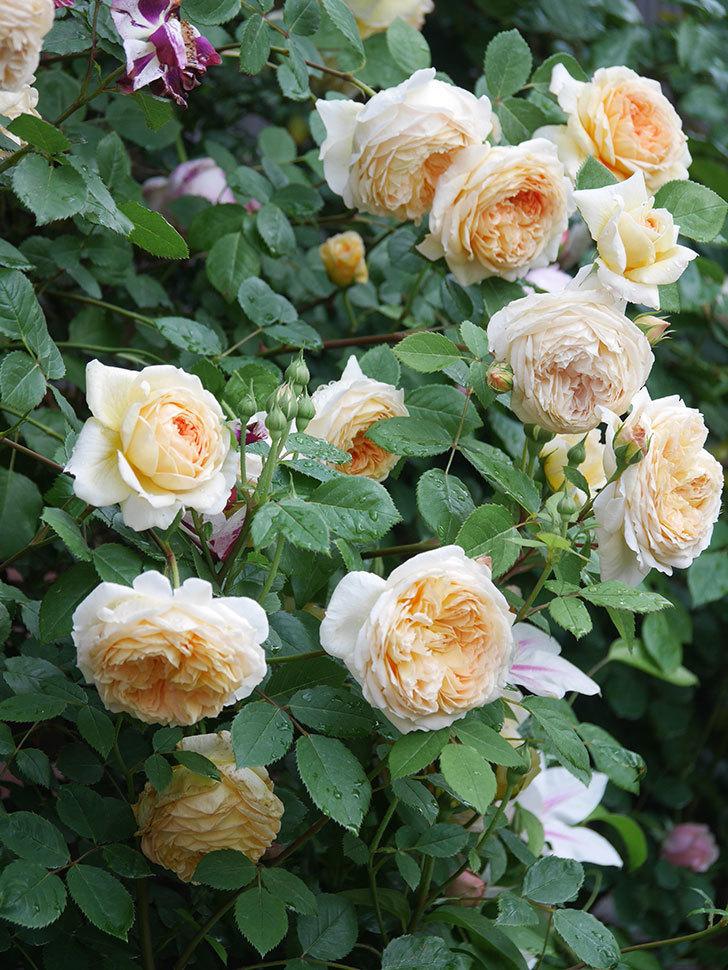 バスシーバ(Bathsheba)の花がたくさん咲いた。ツルバラ。2021年-120.jpg