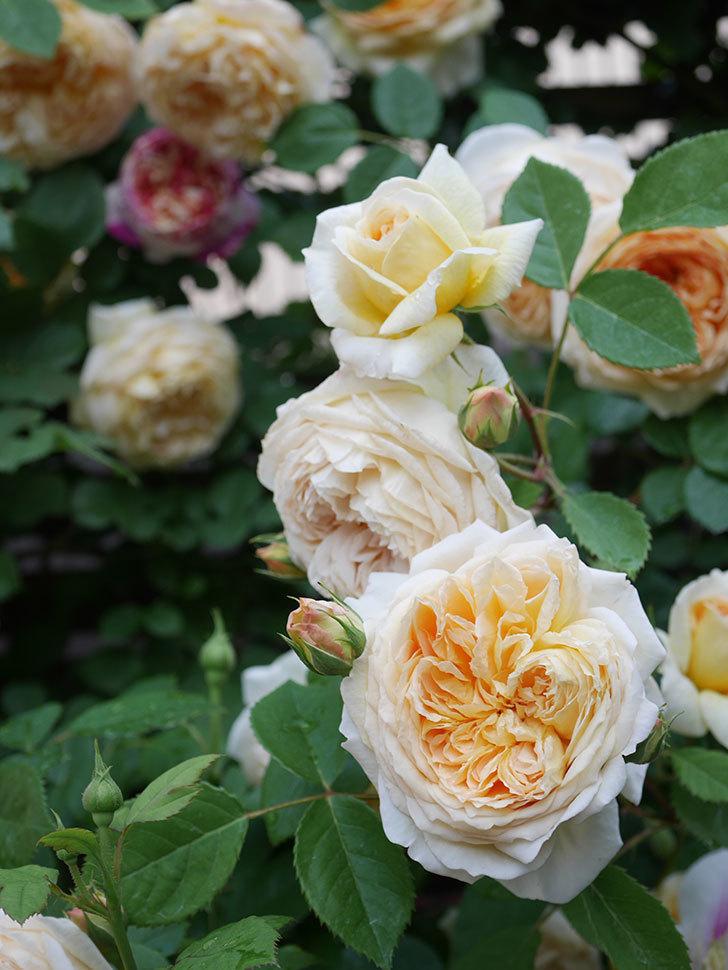 バスシーバ(Bathsheba)の花がたくさん咲いた。ツルバラ。2021年-122.jpg