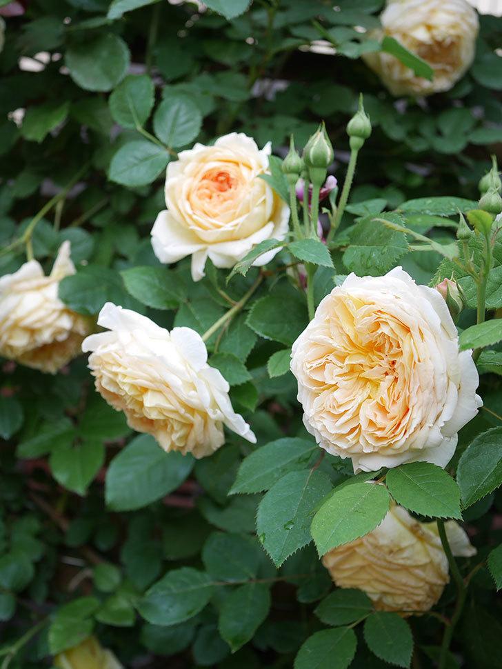 バスシーバ(Bathsheba)の花がたくさん咲いた。ツルバラ。2021年-124.jpg