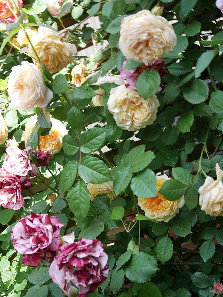 バスシーバ(Bathsheba)の花がたくさん咲いた。ツルバラ。2021年-126.jpg