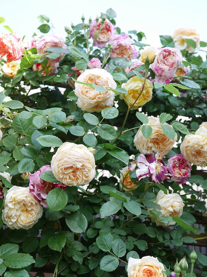 バスシーバ(Bathsheba)の花がたくさん咲いた。ツルバラ。2021年-129.jpg