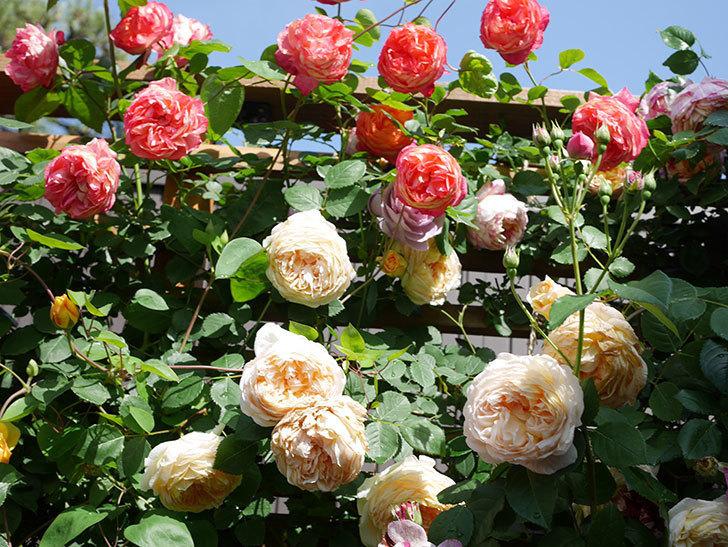 バスシーバ(Bathsheba)の花がたくさん咲いた。ツルバラ。2021年-130.jpg