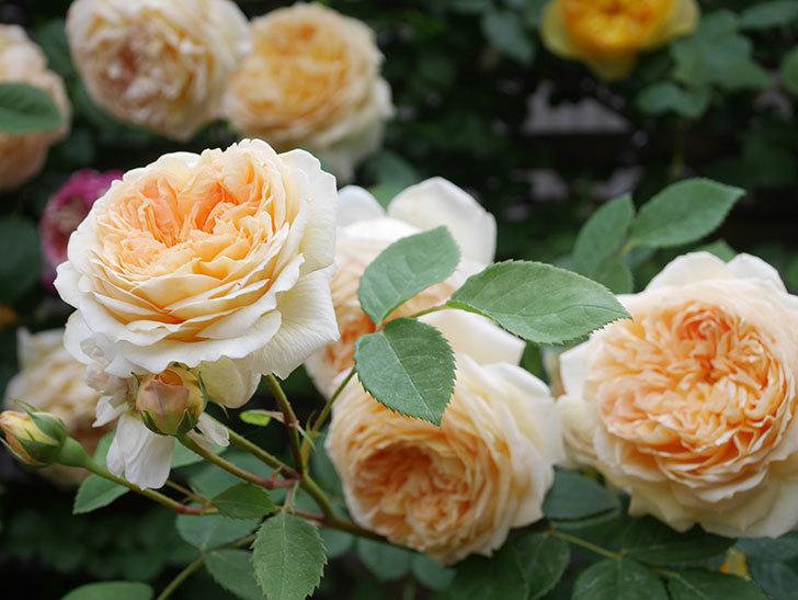 バスシーバ(Bathsheba)の花がたくさん咲いた。ツルバラ。2021年-134.jpg