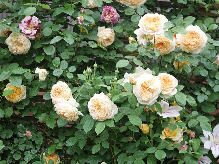 バスシーバ(Bathsheba)の花がたくさん咲いた。ツルバラ。2021年-135.jpg