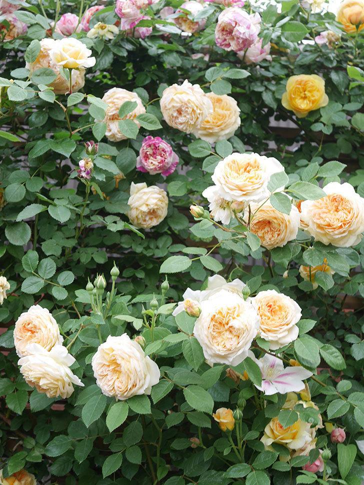 バスシーバ(Bathsheba)の花がたくさん咲いた。ツルバラ。2021年-136.jpg