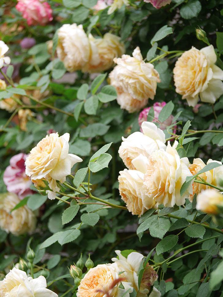 バスシーバ(Bathsheba)の花がたくさん咲いた。ツルバラ。2021年-138.jpg