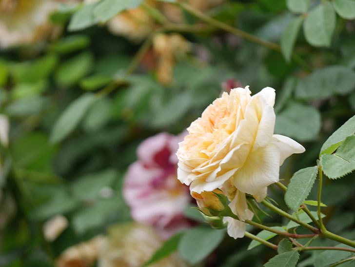 バスシーバ(Bathsheba)の花がたくさん咲いた。ツルバラ。2021年-140.jpg