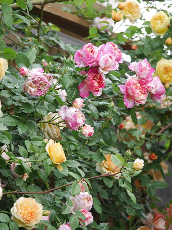 バスシーバ(Bathsheba)の花がたくさん咲いた。ツルバラ。2021年-141.jpg