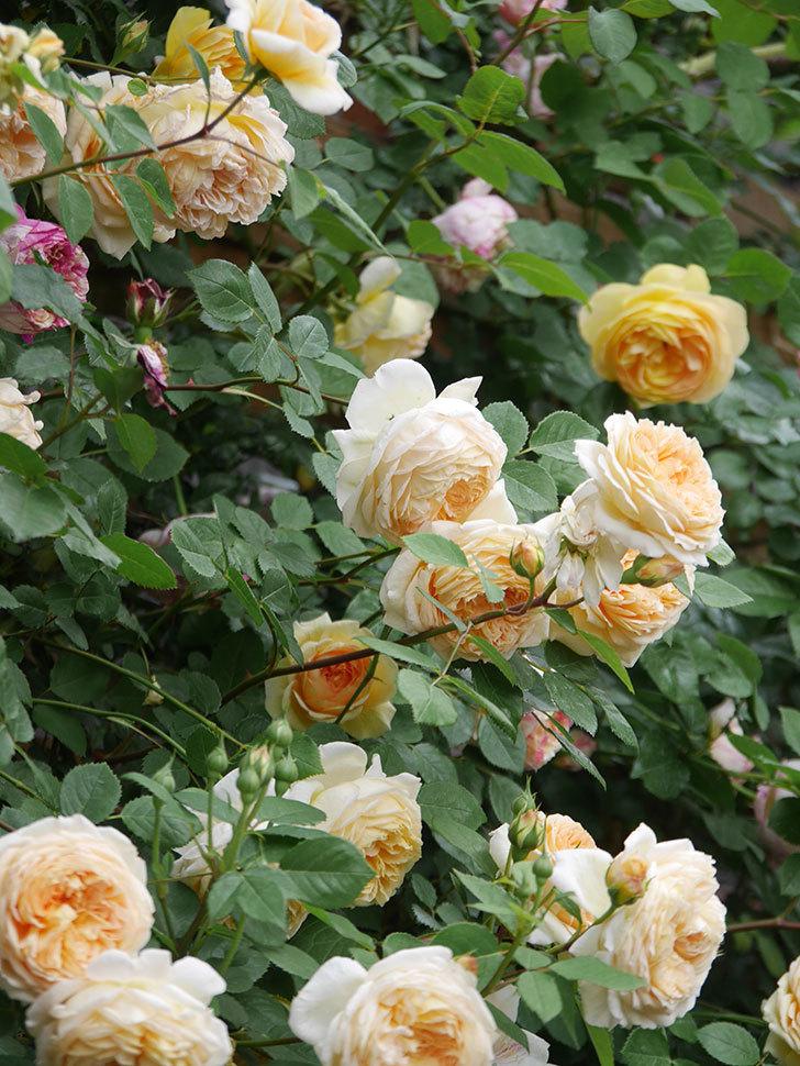 バスシーバ(Bathsheba)の花がたくさん咲いた。ツルバラ。2021年-142.jpg