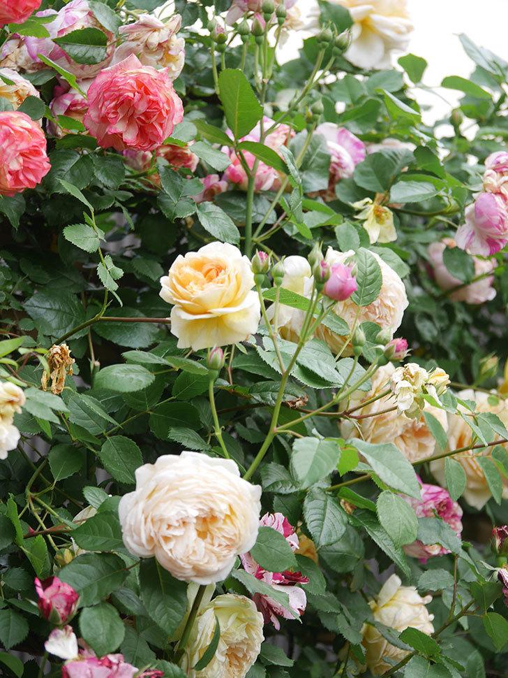 バスシーバ(Bathsheba)の花がたくさん咲いた。ツルバラ。2021年-144.jpg