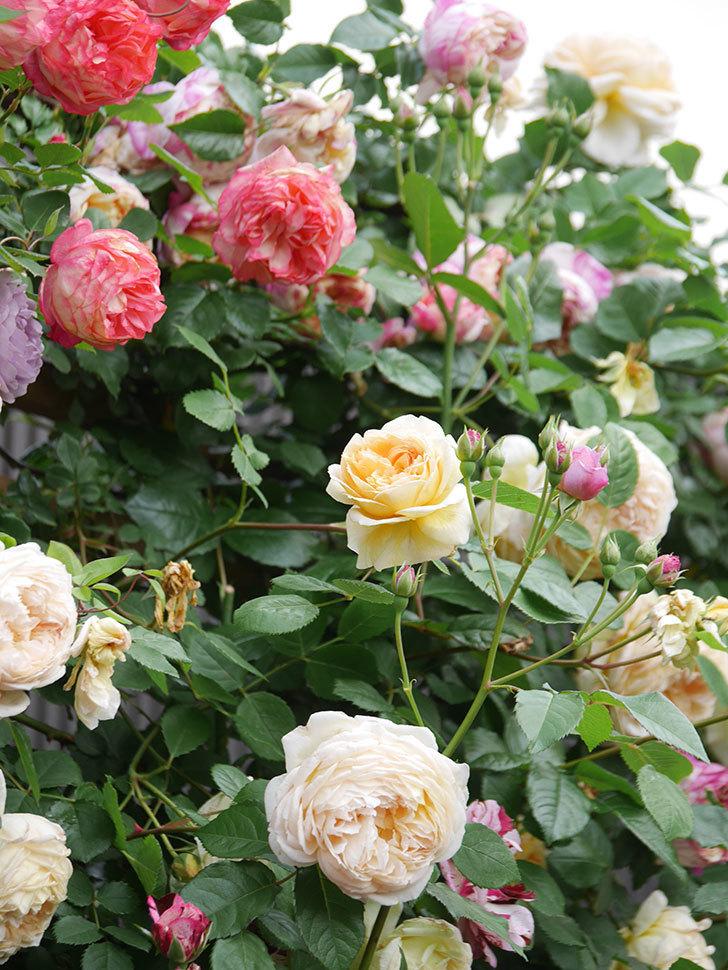 バスシーバ(Bathsheba)の花がたくさん咲いた。ツルバラ。2021年-145.jpg