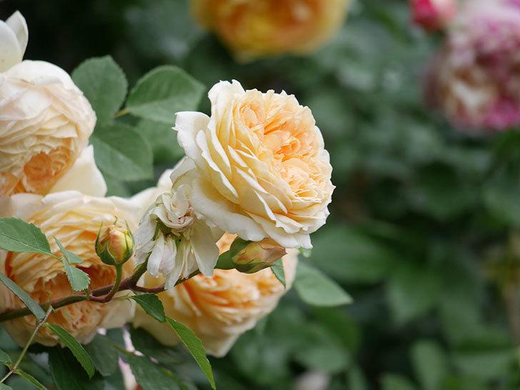バスシーバ(Bathsheba)の花がたくさん咲いた。ツルバラ。2021年-147.jpg