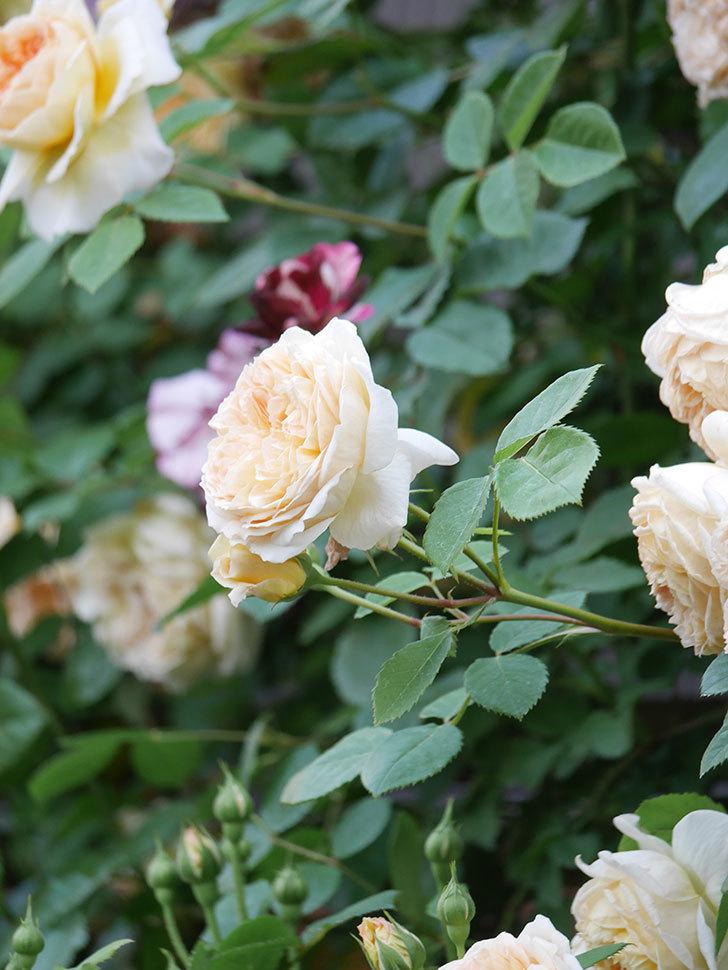 バスシーバ(Bathsheba)の花がたくさん咲いた。ツルバラ。2021年-148.jpg