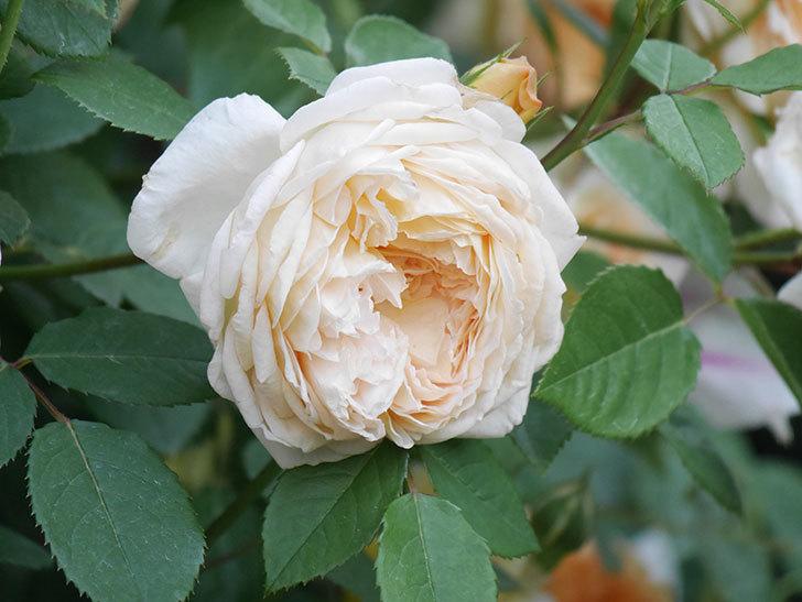 バスシーバ(Bathsheba)の花がたくさん咲いた。ツルバラ。2021年-152.jpg