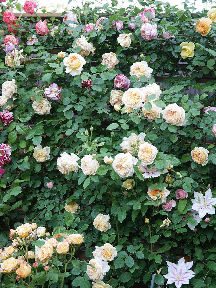 バスシーバ(Bathsheba)の花がたくさん咲いた。ツルバラ。2021年-154.jpg
