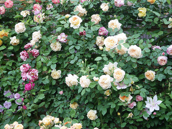 バスシーバ(Bathsheba)の花がたくさん咲いた。ツルバラ。2021年-156.jpg