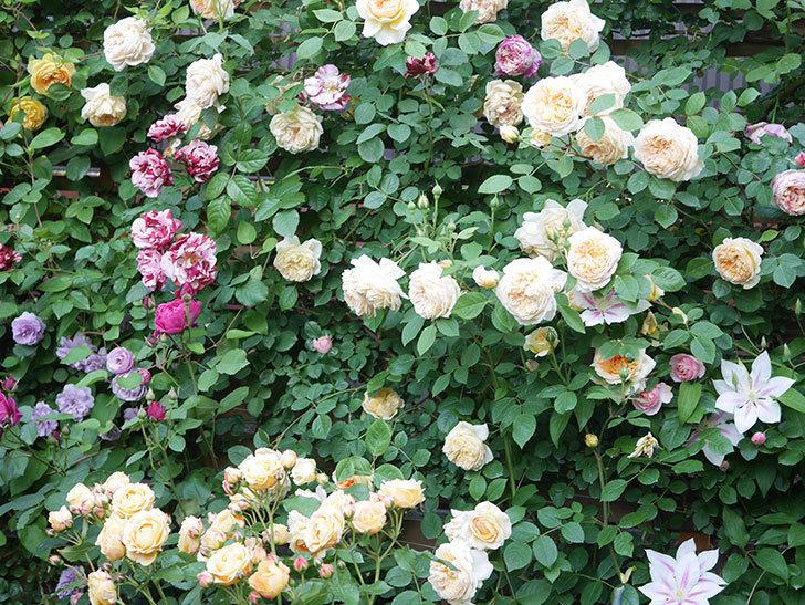 バスシーバ(Bathsheba)の花がたくさん咲いた。ツルバラ。2021年-157.jpg