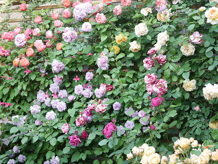 バスシーバ(Bathsheba)の花がたくさん咲いた。ツルバラ。2021年-158.jpg