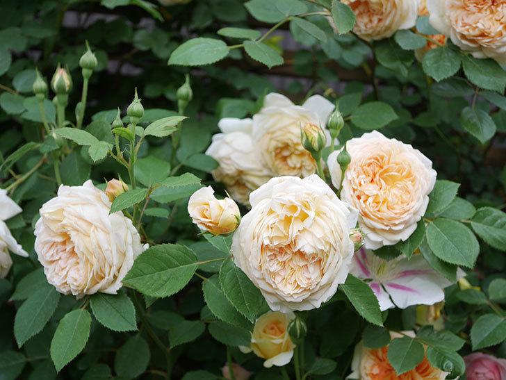 バスシーバ(Bathsheba)の花がたくさん咲いた。ツルバラ。2021年-160.jpg