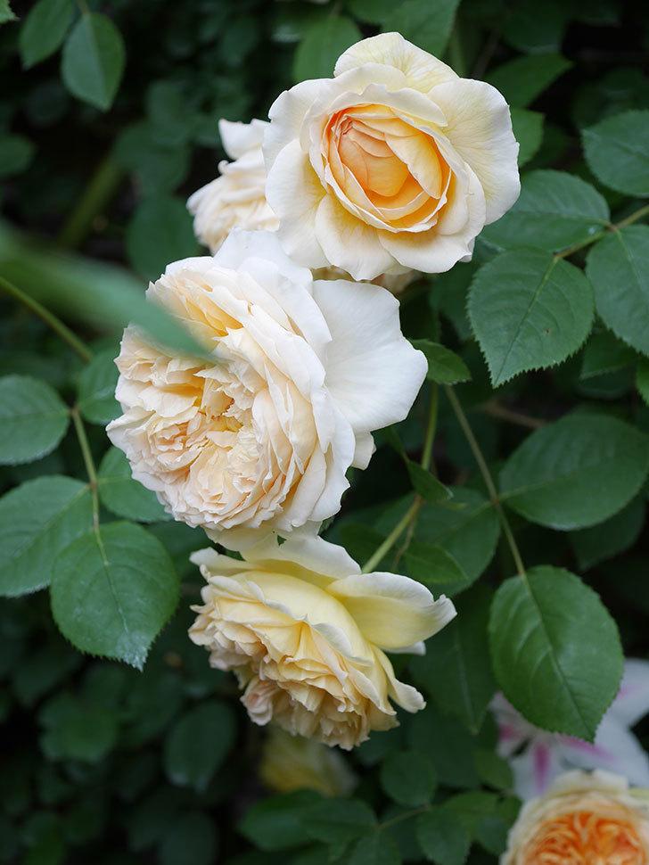 バスシーバ(Bathsheba)の花がたくさん咲いた。ツルバラ。2021年-161.jpg
