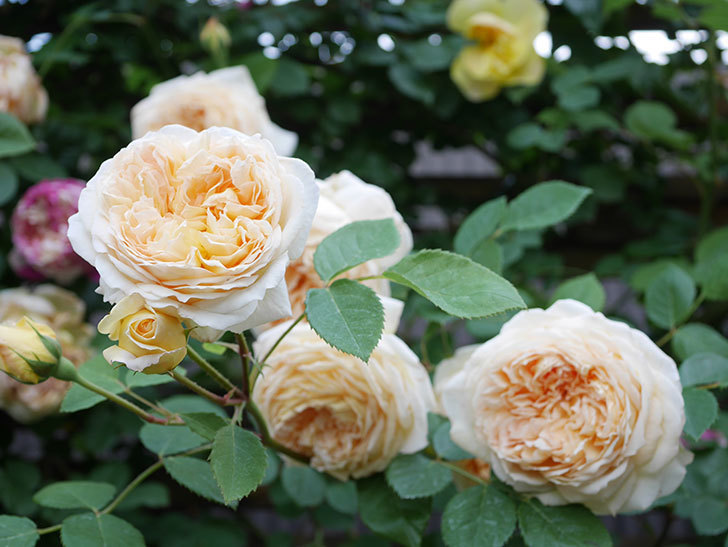 バスシーバ(Bathsheba)の花がたくさん咲いた。ツルバラ。2021年-164.jpg