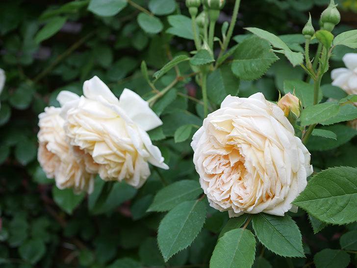 バスシーバ(Bathsheba)の花がたくさん咲いた。ツルバラ。2021年-165.jpg