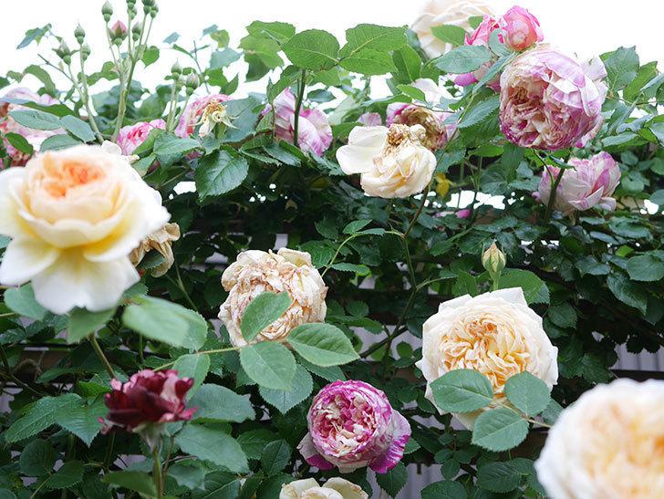 バスシーバ(Bathsheba)の花がたくさん咲いた。ツルバラ。2021年-166.jpg