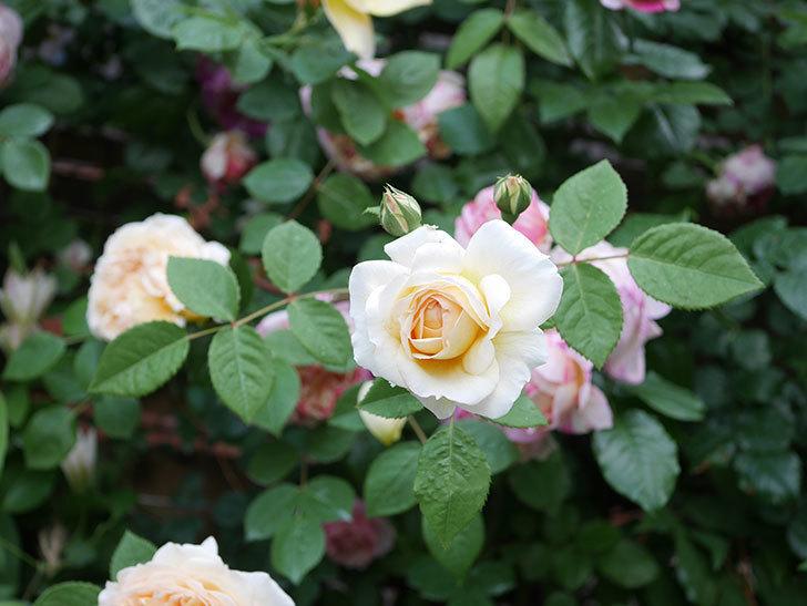 バスシーバ(Bathsheba)の花がたくさん咲いた。ツルバラ。2021年-168.jpg