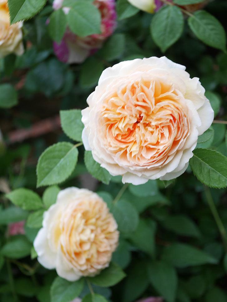 バスシーバ(Bathsheba)の花がたくさん咲いた。ツルバラ。2021年-169.jpg
