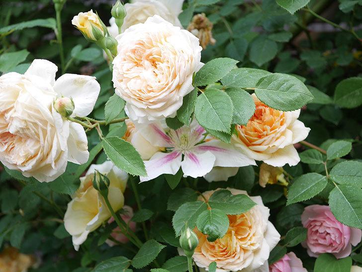 バスシーバ(Bathsheba)の花がたくさん咲いた。ツルバラ。2021年-171.jpg