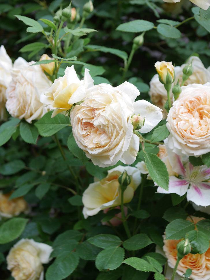 バスシーバ(Bathsheba)の花がたくさん咲いた。ツルバラ。2021年-173.jpg