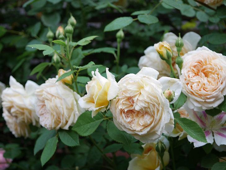 バスシーバ(Bathsheba)の花がたくさん咲いた。ツルバラ。2021年-174.jpg