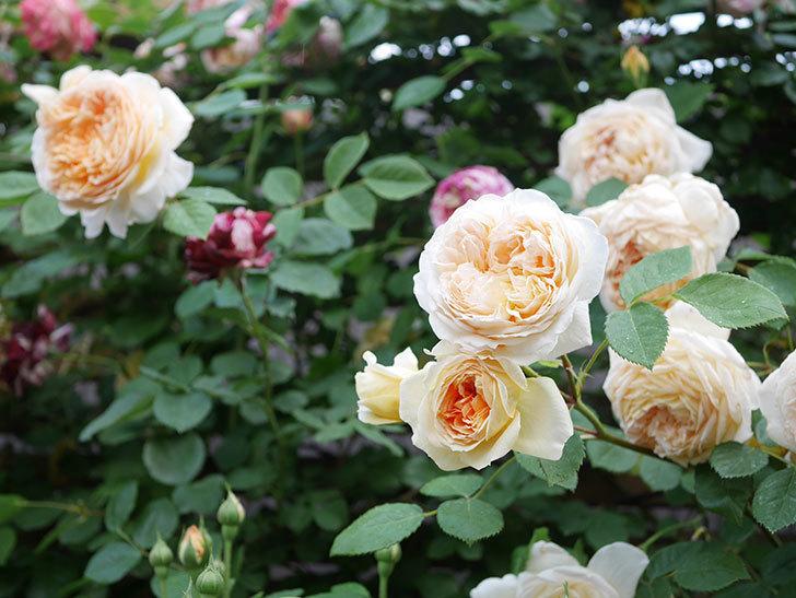 バスシーバ(Bathsheba)の花がたくさん咲いた。ツルバラ。2021年-175.jpg