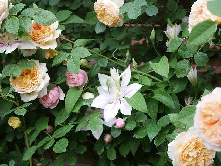 バスシーバ(Bathsheba)の花がたくさん咲いた。ツルバラ。2021年-176.jpg