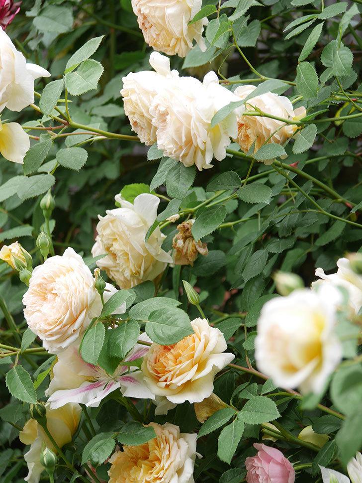 バスシーバ(Bathsheba)の花がたくさん咲いた。ツルバラ。2021年-178.jpg