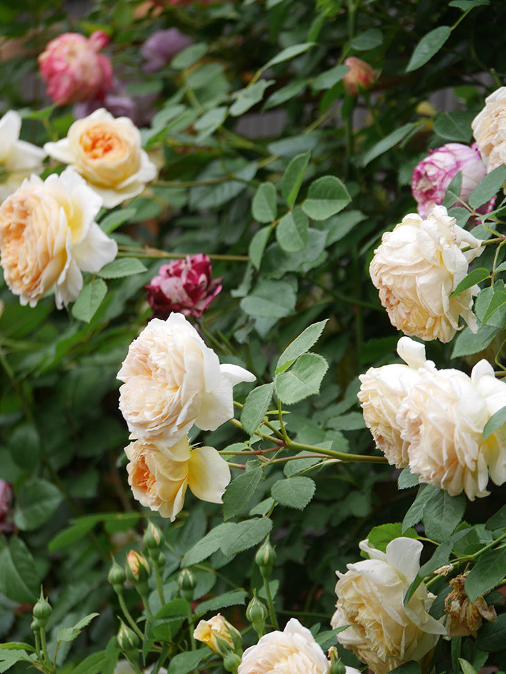 バスシーバ(Bathsheba)の花がたくさん咲いた。ツルバラ。2021年-180.jpg