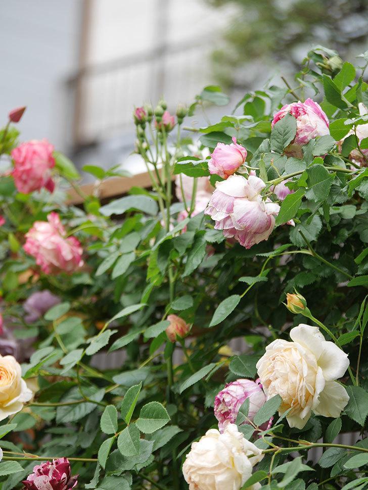 バスシーバ(Bathsheba)の花がたくさん咲いた。ツルバラ。2021年-181.jpg