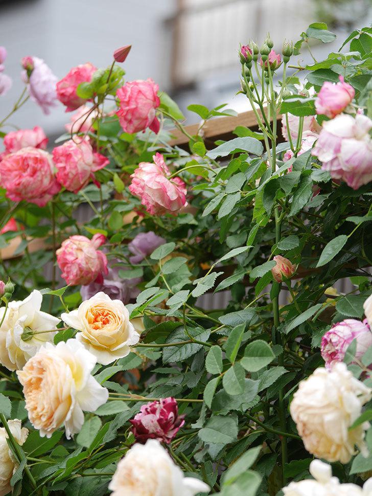 バスシーバ(Bathsheba)の花がたくさん咲いた。ツルバラ。2021年-182.jpg