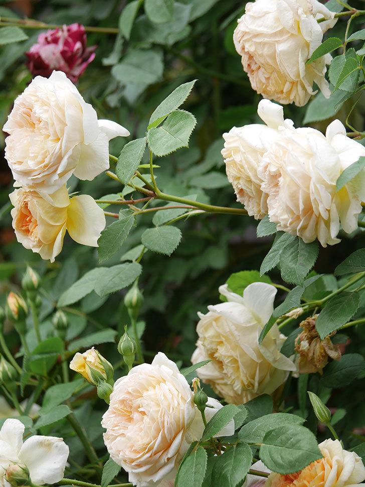 バスシーバ(Bathsheba)の花がたくさん咲いた。ツルバラ。2021年-183.jpg