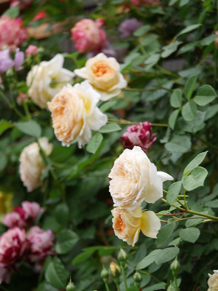 バスシーバ(Bathsheba)の花がたくさん咲いた。ツルバラ。2021年-184.jpg