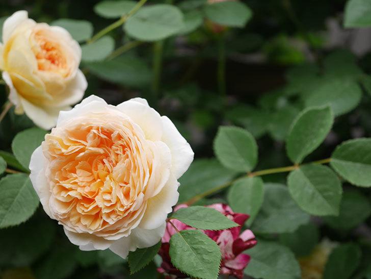 バスシーバ(Bathsheba)の花がたくさん咲いた。ツルバラ。2021年-186.jpg