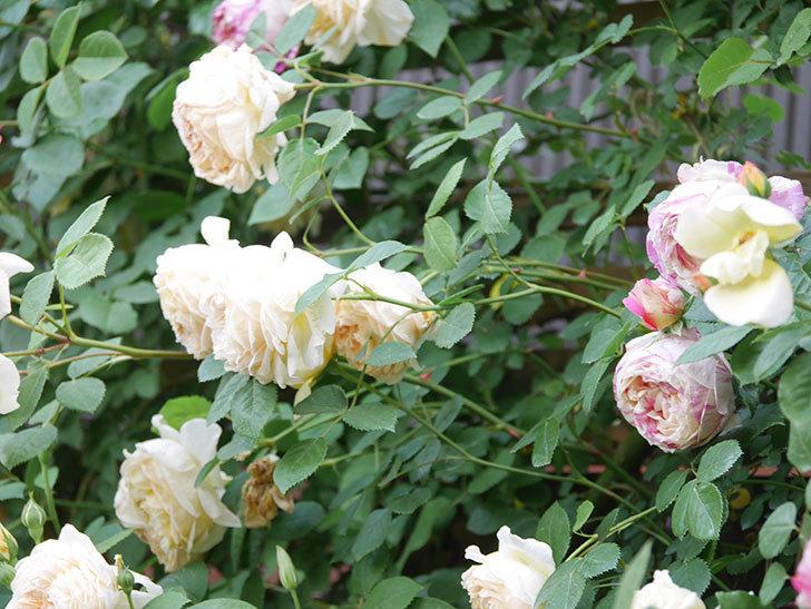 バスシーバ(Bathsheba)の花がたくさん咲いた。ツルバラ。2021年-188.jpg
