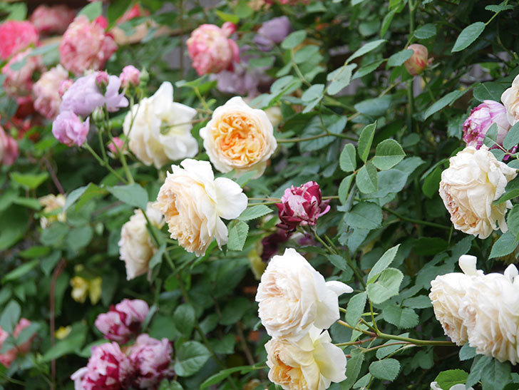 バスシーバ(Bathsheba)の花がたくさん咲いた。ツルバラ。2021年-189.jpg