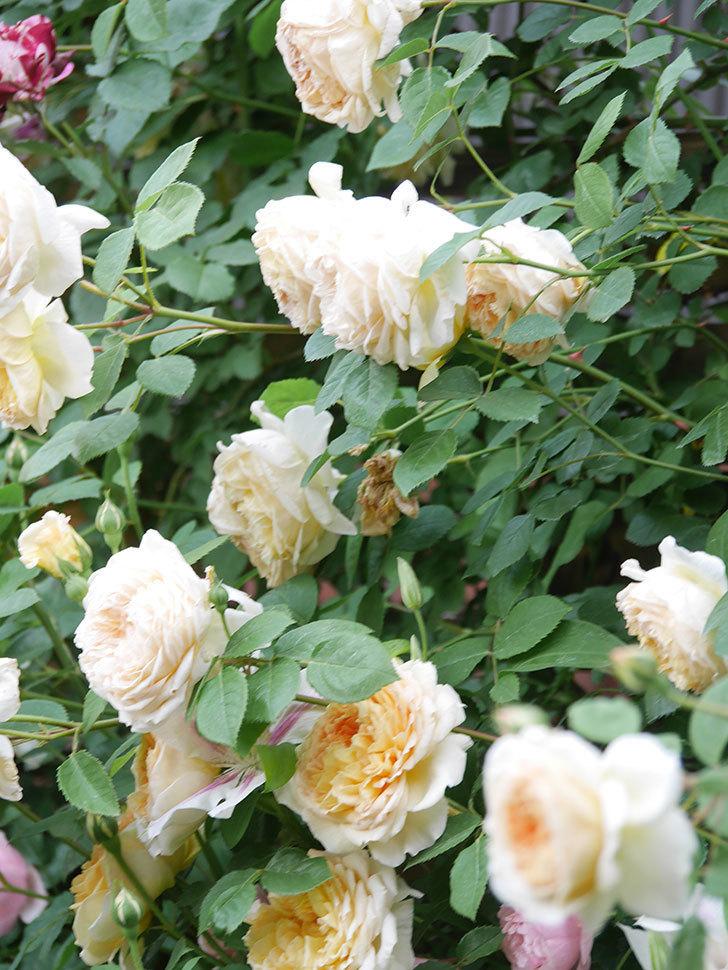 バスシーバ(Bathsheba)の花がたくさん咲いた。ツルバラ。2021年-191.jpg