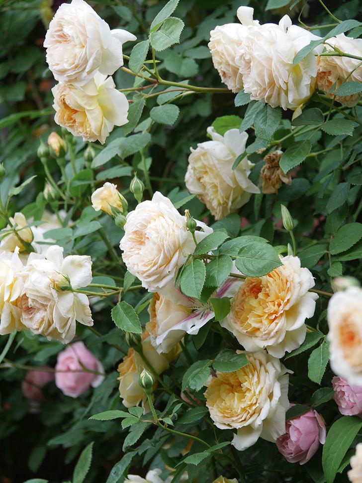 バスシーバ(Bathsheba)の花がたくさん咲いた。ツルバラ。2021年-192.jpg